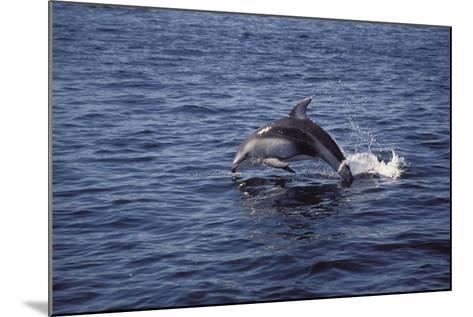 Pacific White Sided Dolphin Johnston Strait Vancouver Island Canada-Design Pics Inc-Mounted Photographic Print