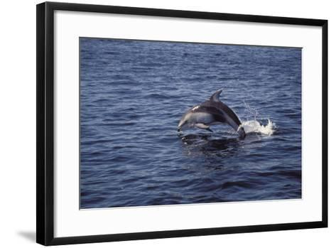 Pacific White Sided Dolphin Johnston Strait Vancouver Island Canada-Design Pics Inc-Framed Art Print
