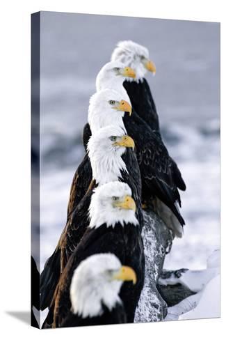 Six Bald Eagles Perched in a Row on Snow Covered Log Homer Spit Kachemak Bay Kenai Peninsula Alaska-Design Pics Inc-Stretched Canvas Print