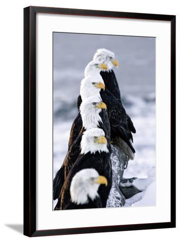 Six Bald Eagles Perched in a Row on Snow Covered Log Homer Spit Kachemak Bay Kenai Peninsula Alaska-Design Pics Inc-Framed Art Print