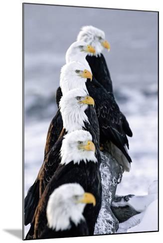 Six Bald Eagles Perched in a Row on Snow Covered Log Homer Spit Kachemak Bay Kenai Peninsula Alaska-Design Pics Inc-Mounted Photographic Print