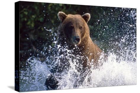 Charging Grizzly Splashing Through Water Shelikof Straight Katmai Nat Park Summer Southwest Alaska-Design Pics Inc-Stretched Canvas Print