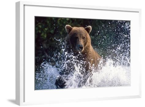 Charging Grizzly Splashing Through Water Shelikof Straight Katmai Nat Park Summer Southwest Alaska-Design Pics Inc-Framed Art Print