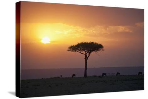 Acacia Trees at Sunset, Mara River, Maasai Mara, Kenya, Africa-Design Pics Inc-Stretched Canvas Print