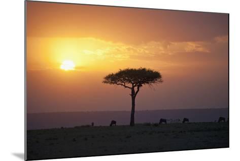 Acacia Trees at Sunset, Mara River, Maasai Mara, Kenya, Africa-Design Pics Inc-Mounted Photographic Print