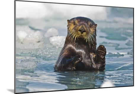 A Sea Otter Swimming Amongst Sea Ice in Harriman Fjord, Prince William Sound, Southcentral Alaska-Design Pics Inc-Mounted Photographic Print