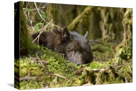 Wolf Rests in a Mossy Bed on the Forests Floor of the Tongass National Forest in Southeast Alaska-Design Pics Inc-Stretched Canvas Print