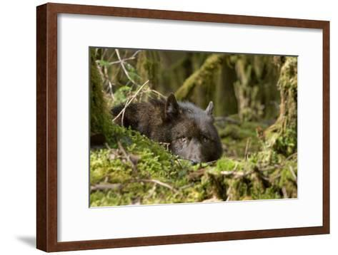 Wolf Rests in a Mossy Bed on the Forests Floor of the Tongass National Forest in Southeast Alaska-Design Pics Inc-Framed Art Print