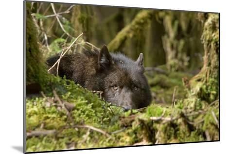 Wolf Rests in a Mossy Bed on the Forests Floor of the Tongass National Forest in Southeast Alaska-Design Pics Inc-Mounted Photographic Print