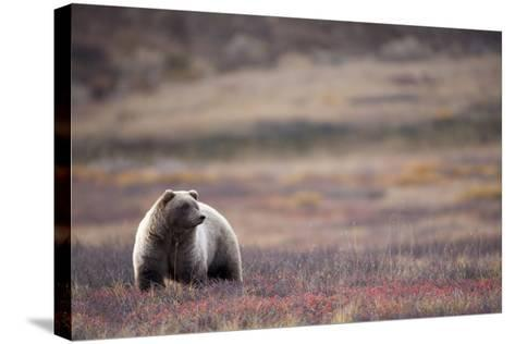 Scenic View of a Grizzly Bear Standing in the Fall Tundra, Denali National Park, Interior Alaska-Design Pics Inc-Stretched Canvas Print