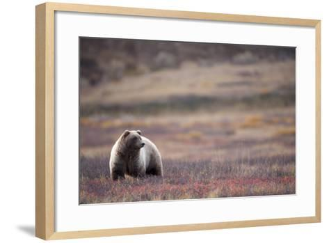 Scenic View of a Grizzly Bear Standing in the Fall Tundra, Denali National Park, Interior Alaska-Design Pics Inc-Framed Art Print