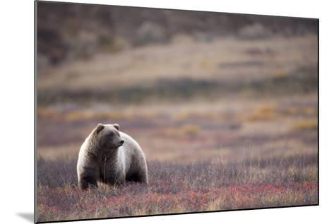 Scenic View of a Grizzly Bear Standing in the Fall Tundra, Denali National Park, Interior Alaska-Design Pics Inc-Mounted Photographic Print