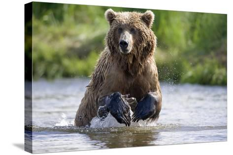 Grizzly Chasing Salmon in River During Summer Months in Alaska-Design Pics Inc-Stretched Canvas Print
