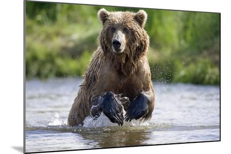 Grizzly Chasing Salmon in River During Summer Months in Alaska-Design Pics Inc-Mounted Photographic Print