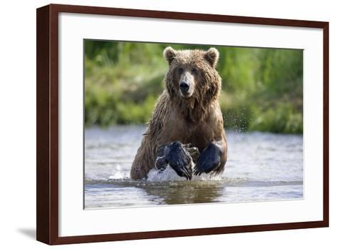 Grizzly Chasing Salmon in River During Summer Months in Alaska-Design Pics Inc-Framed Art Print