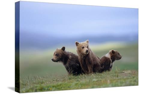 4 Young Brown Bear Cubs Huddled Together on Tundra Katmai National Park Southwest Alaska Summer-Design Pics Inc-Stretched Canvas Print