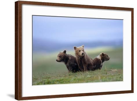 4 Young Brown Bear Cubs Huddled Together on Tundra Katmai National Park Southwest Alaska Summer-Design Pics Inc-Framed Art Print
