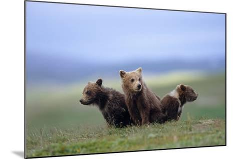 4 Young Brown Bear Cubs Huddled Together on Tundra Katmai National Park Southwest Alaska Summer-Design Pics Inc-Mounted Photographic Print