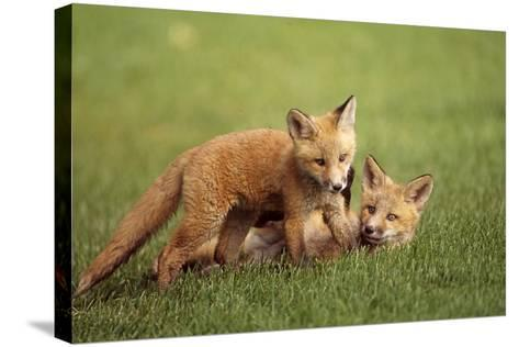 Red Fox Kits Playing Together on Golf Course on Elmendorf Airforce Base Anchorage Alaska Summer-Design Pics Inc-Stretched Canvas Print