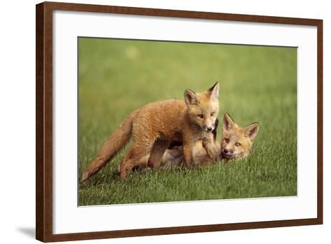 Red Fox Kits Playing Together on Golf Course on Elmendorf Airforce Base Anchorage Alaska Summer-Design Pics Inc-Framed Art Print