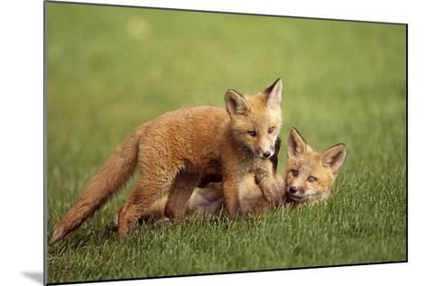 Red Fox Kits Playing Together on Golf Course on Elmendorf Airforce Base Anchorage Alaska Summer-Design Pics Inc-Mounted Photographic Print