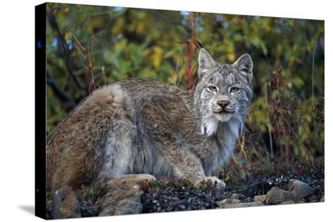 Adult Lynx on Hill Side Denali Np in Alaska Summer-Design Pics Inc-Stretched Canvas Print