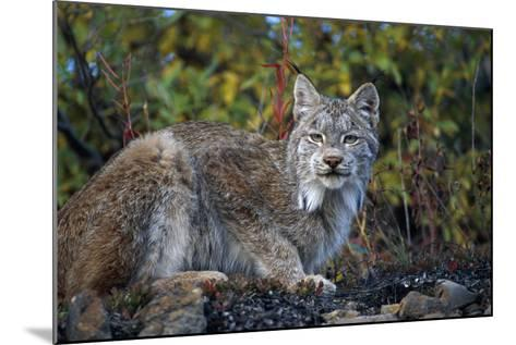 Adult Lynx on Hill Side Denali Np in Alaska Summer-Design Pics Inc-Mounted Photographic Print