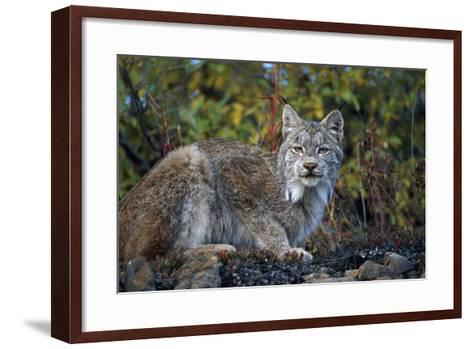 Adult Lynx on Hill Side Denali Np in Alaska Summer-Design Pics Inc-Framed Art Print