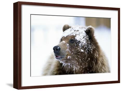 Grizzly Bear Standing with Face Covered-Design Pics Inc-Framed Art Print