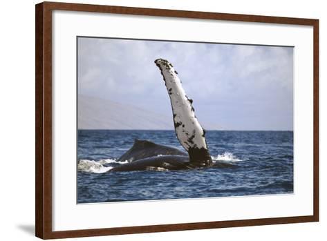 Hawaii, Humpback Whale (Megaptera Novaeangilae) Raises its Pectoral Fin Above the Surface-Design Pics Inc-Framed Art Print