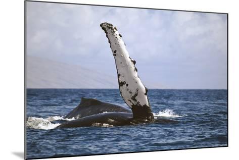 Hawaii, Humpback Whale (Megaptera Novaeangilae) Raises its Pectoral Fin Above the Surface-Design Pics Inc-Mounted Photographic Print