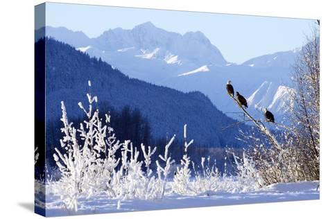 Bald Eagles Perched-Design Pics Inc-Stretched Canvas Print