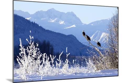 Bald Eagles Perched-Design Pics Inc-Mounted Photographic Print