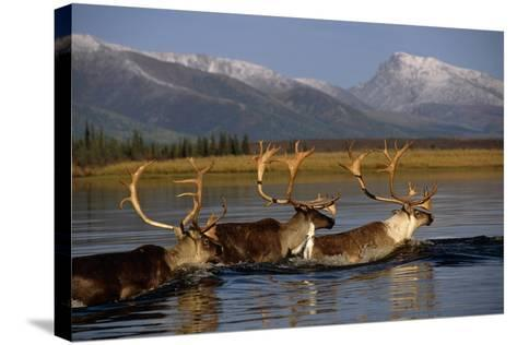 Caribou Herd Swimming across Kobuk River Arctic Alaska Autumn Kobuk Valley National Park-Design Pics Inc-Stretched Canvas Print