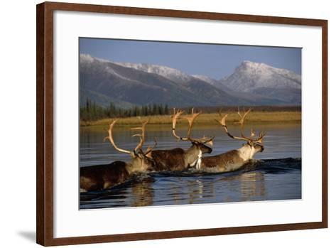 Caribou Herd Swimming across Kobuk River Arctic Alaska Autumn Kobuk Valley National Park-Design Pics Inc-Framed Art Print