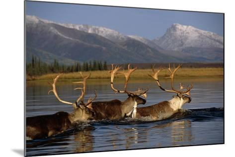 Caribou Herd Swimming across Kobuk River Arctic Alaska Autumn Kobuk Valley National Park-Design Pics Inc-Mounted Photographic Print