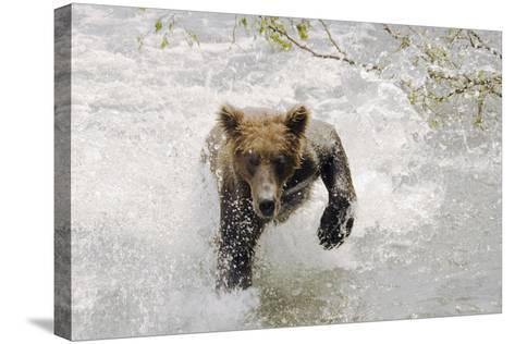 Brown Bear Charging Through Water Brooks River Katmai National Park Southwest Alaska Summer-Design Pics Inc-Stretched Canvas Print