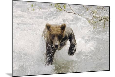 Brown Bear Charging Through Water Brooks River Katmai National Park Southwest Alaska Summer-Design Pics Inc-Mounted Photographic Print