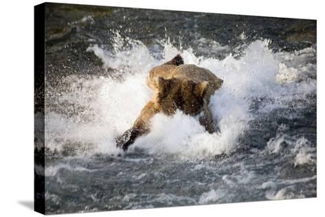 Brown Bear Dives into Brooks River for Salmon Katmai National Park Southwest Alaska Summer-Design Pics Inc-Stretched Canvas Print
