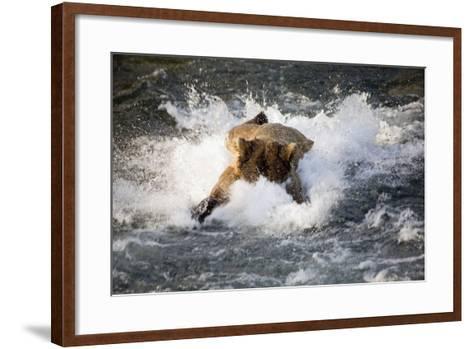 Brown Bear Dives into Brooks River for Salmon Katmai National Park Southwest Alaska Summer-Design Pics Inc-Framed Art Print