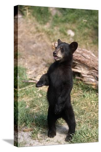 Young Black Bear Cub Standing Upright Captive Alaska Wildlife Conservation Center Summer-Design Pics Inc-Stretched Canvas Print