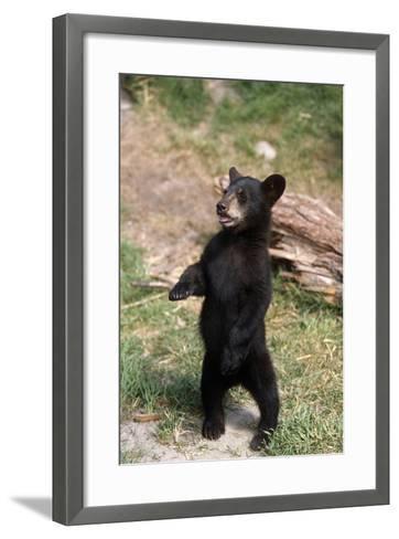 Young Black Bear Cub Standing Upright Captive Alaska Wildlife Conservation Center Summer-Design Pics Inc-Framed Art Print