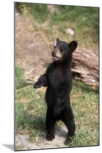 Young Black Bear Cub Standing Upright Captive Alaska Wildlife Conservation Center Summer-Design Pics Inc-Mounted Photographic Print