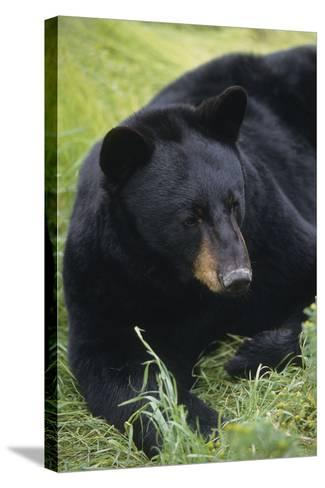 Captive: Close Up of a Black Bear Laying-Design Pics Inc-Stretched Canvas Print