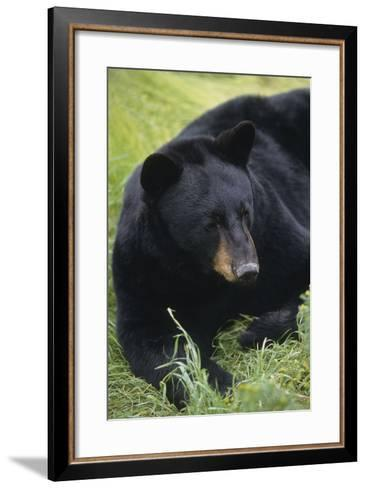 Captive: Close Up of a Black Bear Laying-Design Pics Inc-Framed Art Print