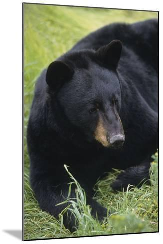 Captive: Close Up of a Black Bear Laying-Design Pics Inc-Mounted Photographic Print