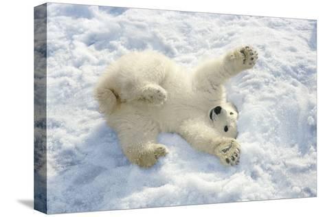 Polar Bear Cub Playing in Snow Alaska Zoo-Design Pics Inc-Stretched Canvas Print