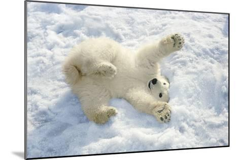 Polar Bear Cub Playing in Snow Alaska Zoo-Design Pics Inc-Mounted Photographic Print
