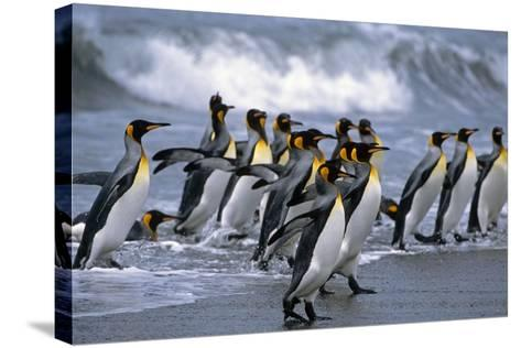 Group of King Penguins Walking in Surf on Beach South Georgia Island Antarctic Summer-Design Pics Inc-Stretched Canvas Print