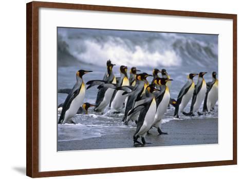 Group of King Penguins Walking in Surf on Beach South Georgia Island Antarctic Summer-Design Pics Inc-Framed Art Print
